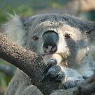 Koala Up Close (for Trudi) by louisegreen