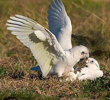 Playful corellas by Anna D'Accione