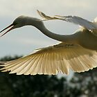 Egret in Flight by Jeff Holcombe