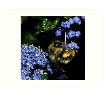 Acrobatic Bee with California Lilac  Art Print