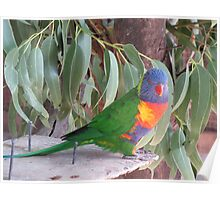 Lorikeets - Victor Harbour Poster