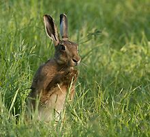 European Brown Hare by The Walker Touch