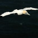 Gannet takes to the air. by Miffy