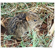 Striped Grass Mouse (Rhabdomys pumilio) Poster