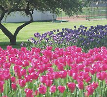 Tulips In Pella by Linda Miller Gesualdo