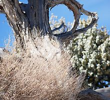Tumbleweed by Cupertino
