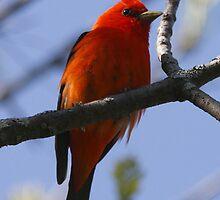 The Scarlet Tanager by DigitallyStill