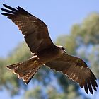 Black Kite Soaring by Daniel Berends