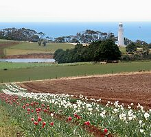 Tulip Farm,Table Cape,Tasmania, Australia. by kaysharp