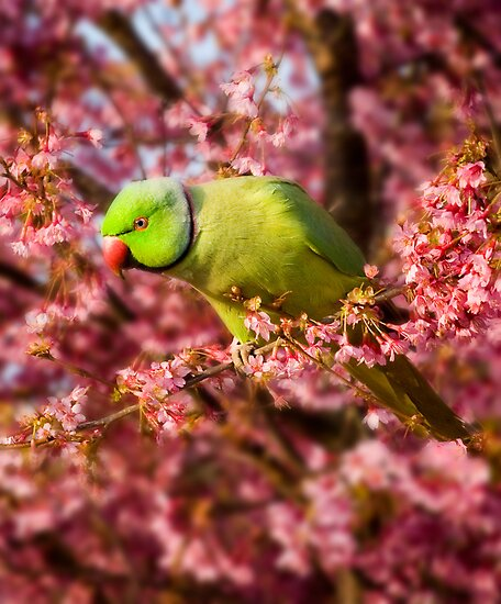 Green Parakeet by Geoff Carpenter