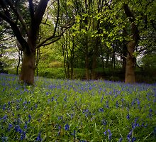 Cheshire Bluebells by swhite99