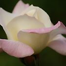 Pink and White Rose by Michael Cummings