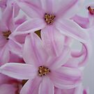 hyacinth by iSha