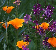 Orange poppies in splendour by cagunique
