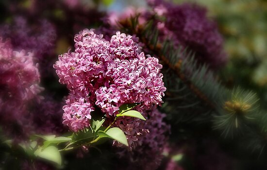Lilacs and Pine  by Elaine  Manley