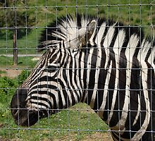 Zebra by Jonice
