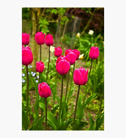 Tulips (Spring-Early May) Photographic Print