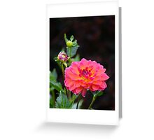 Large Showy Dahlia Greeting Card