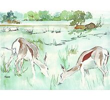 Sketching in the Game Reserve - Springbuck Photographic Print