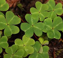 Wood Sorrel - Muir Woods by Elliot MacDonald