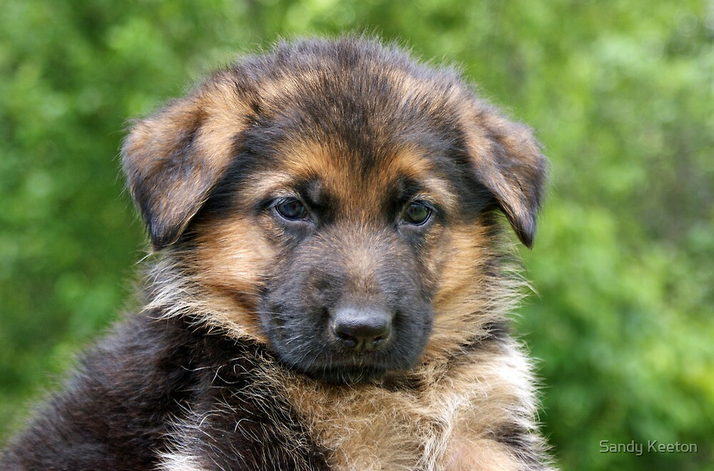 Tan German Shepherd Puppies