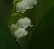 lily of the valley by Fran E.