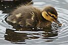 Baby Duck by davesphotographics