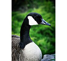 Canada Goose Photographic Print