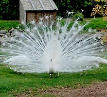 White Peacock II by Susan Vinson