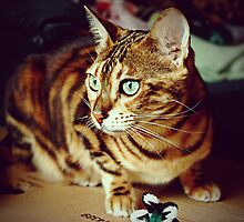Beautiful Bengal by lisabella