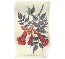 The Botanical magazine, or, Flower garden displayed by William Curtis V13 V14 1799 1800 0123 Bignonia Radicans Ash Leaved Trumpet Flower Poster
