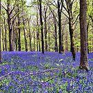 Knee Deep In Bluebells! by naturelover
