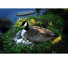 Mother Goose 3 Photographic Print