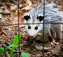 Baby Opossum by Ashley Frechette