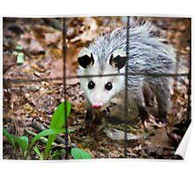 Baby Opossum Poster