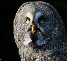 Great Grey Owl or Lapland Owl (Strix nebulosa) by Daniel Rosselló