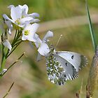 Orange Tip Butterfly, female (Anthocharis cardamines) by Tony4562
