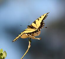 Yellow Butterfly on a Dogwood Tree by DebbieCHayes
