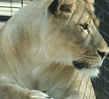 Lioness in a Cage by DebbieCHayes