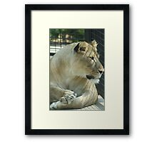 Lioness in a Cage Framed Print