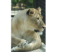 Lioness in a Cage Photographic Print