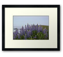 Lupine Flowers on a Cliffside Framed Print
