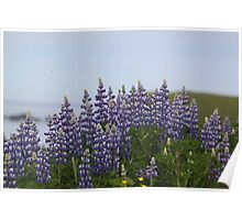Lupine Flowers on a Cliffside Poster