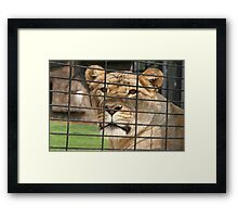 Lioness Looking out of Her Cage Framed Print