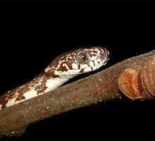 Clouded Slug-eater by Robbie Labanowski