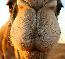 Candid camel by Anne Kingston