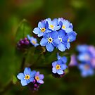 Forget-me-not flowers by Anne Kingston