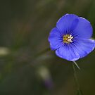 Blue Flax by Kelly Cavanaugh