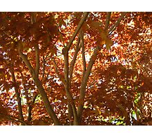 Red Maple Celebrating Spring in NH Photographic Print