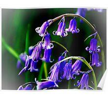 Bluebells - Burton Manor, Cheshire, UK Poster